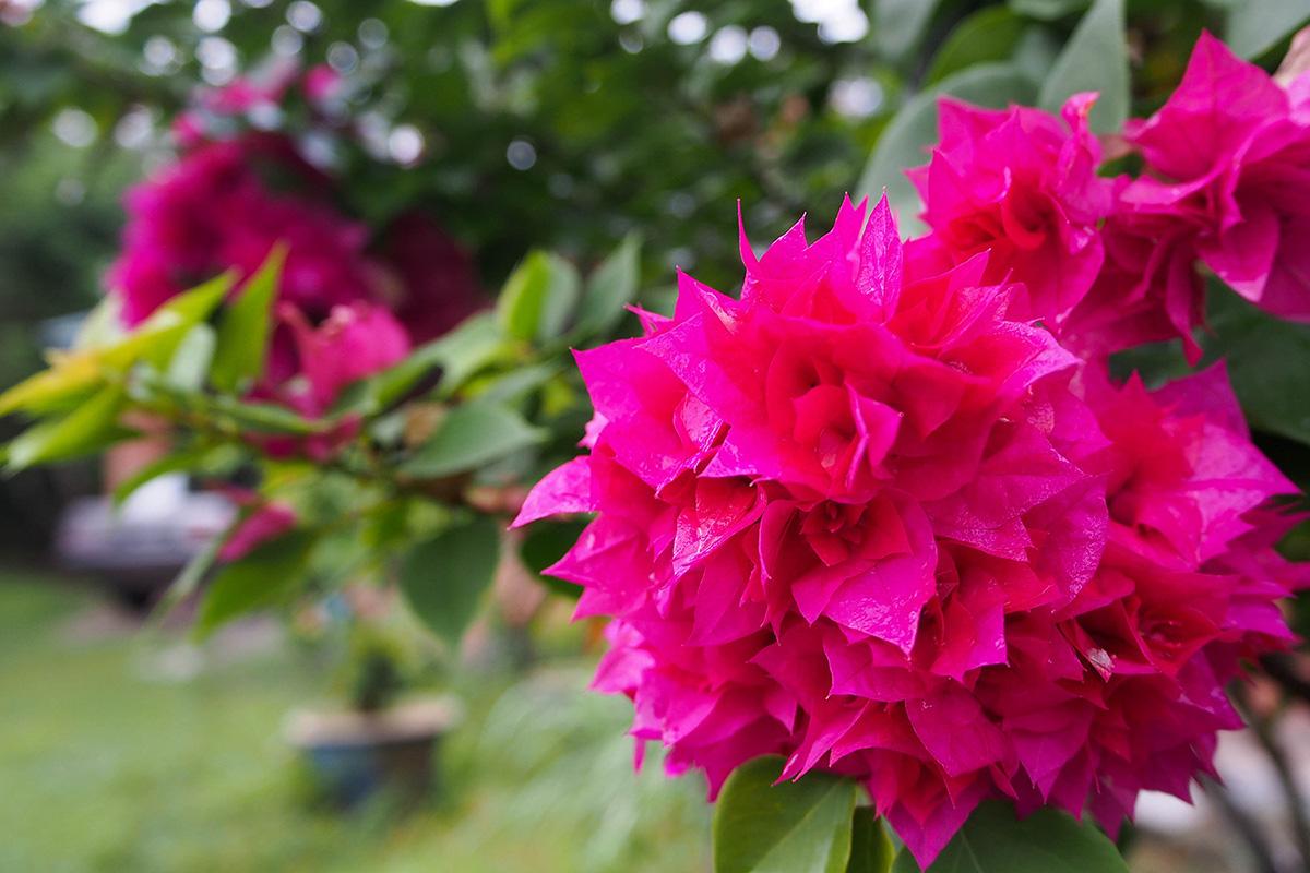 Fleurs de bougain Villiers