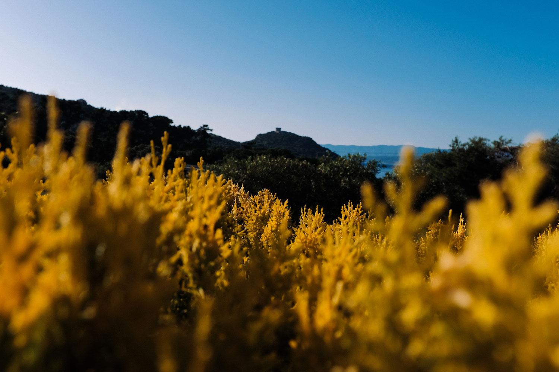 Fleurs jaunes et tour de Campomoro